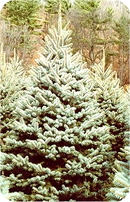 ColoradoBSpruce